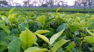 Tea garden Jorhat Assam
