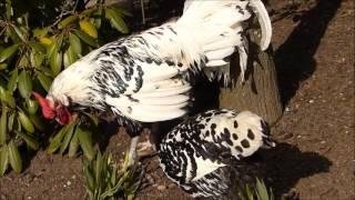 Kury hamburskie. Ptaki ozdobne