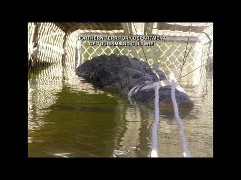 Giant Crocodile Caught