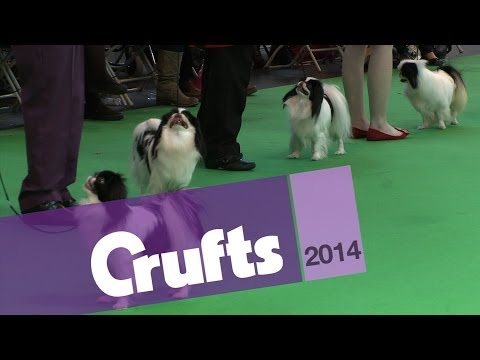 Japanese Chin | Best of Breed | Crufts 2014