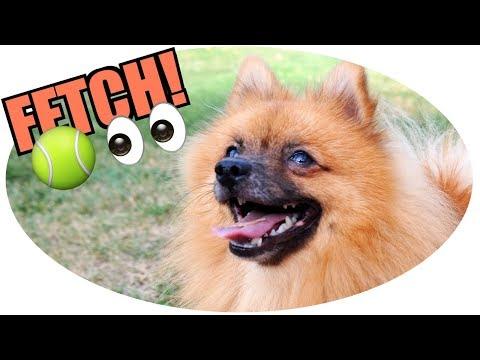 Do Pomeranians Like to Play Fetch?