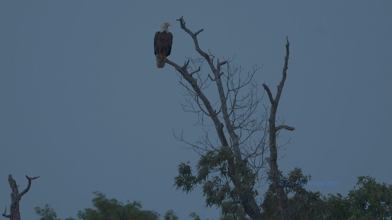 Download Shiloh National Military Park Bald Eagle Dusk Infra-red Quick Footage