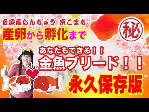 金魚らんちゅうブリード方法【永久保存版】あなたもできる!産卵から孵化まで!!