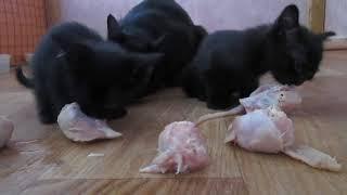 Бомбейские котята, уплетающие куриные головы