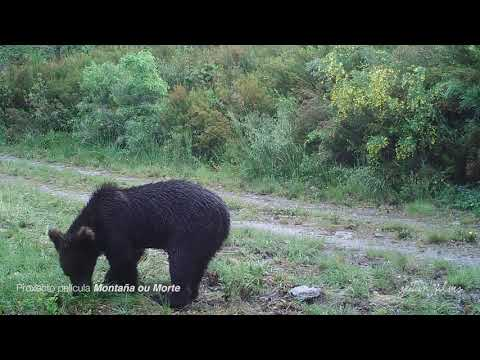 Graban por primera vez a un oso pardo en O Invernadeiro de Ourense