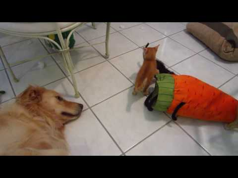 Two Foster Kittens Play With Stuffed Carrot Toy While Big Dog Watches Them - 6 Weeks Old