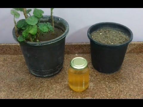 العسل والقرفة افضل هرمون تجذير طبيعي!