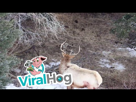 Wolves Hunt an Elk in Yellowstone || ViralHog