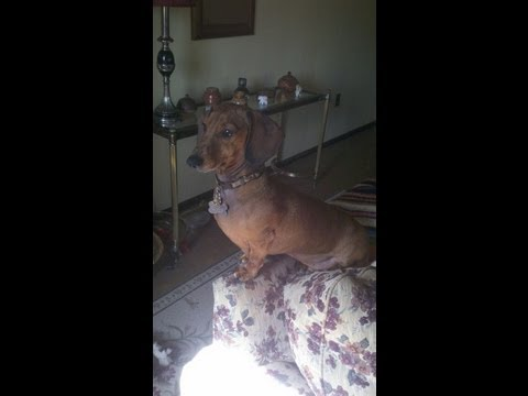 Dachshund So Excited to See Dad Come Home!!!
