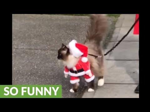 Ragdoll cat walks on leash dressed as Santa