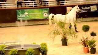 Nader Al Aliaa - Stallions Parade - Normandie Arabian Festival 2014 (1)
