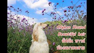 Afghan Hound coat blowing in the wind slowmotion สุนัขอัฟกันฮาวด์ ลมพัดขนพริ้วสวย! [คนสัตว์หมา]