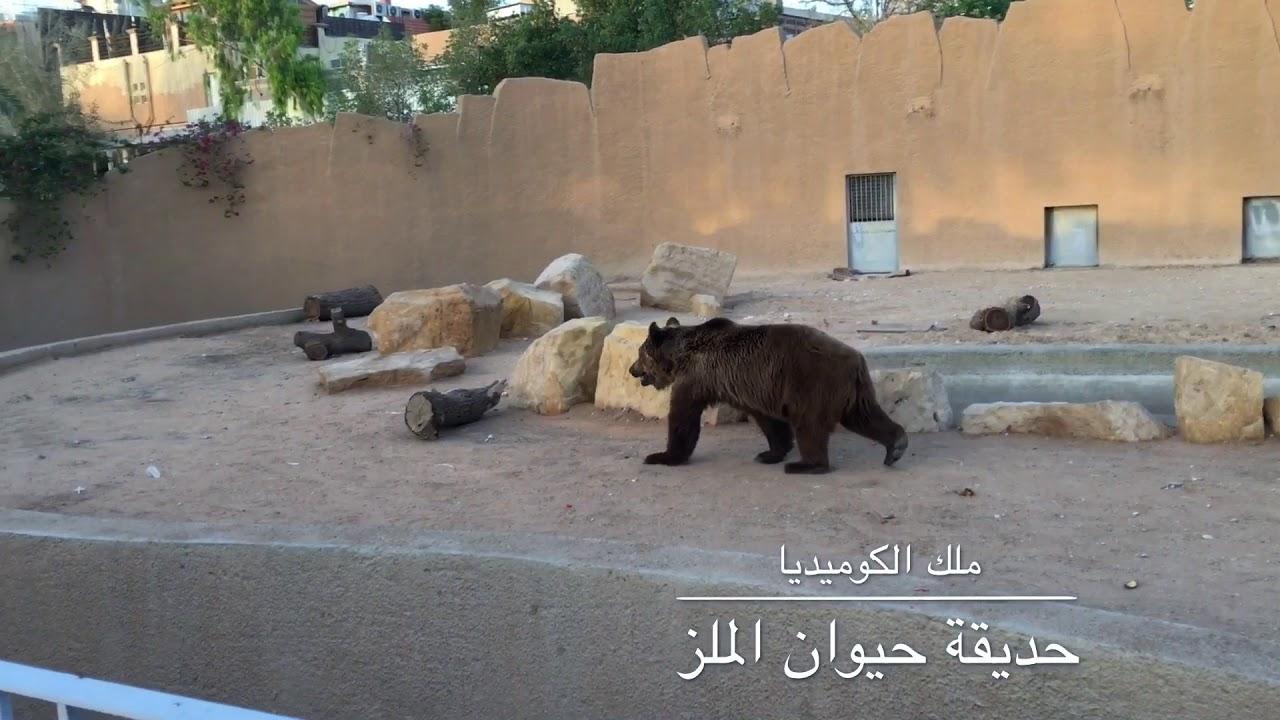 الدب حديقة حيوان الملز في الرياض The Bear In Zoo Youtube