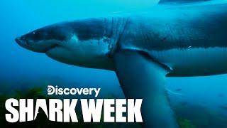 Scientists Swab a Shark's Butt!