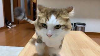 ちょんまげが似合う父猫がかわいい   Father cat that chonmage looks good is cute.