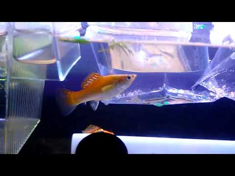 New Community Fish For 29 Gallon Sailfin Molly And Swordtail Tank