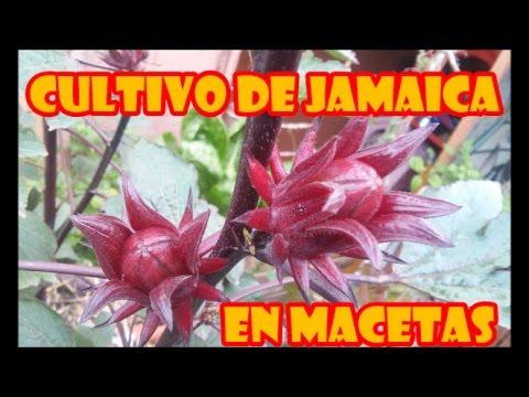 Flor De Jamaica Cultivo En Macetas Proceso Completo Youtube