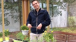 Taimien esikasvatusta Foibekartanolla - latvominen