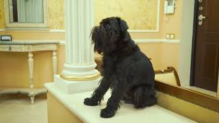 Бельгийский (брюссельский) гриффон, идеальная собака для дома. Гарри Шторм Видео 5 из 6