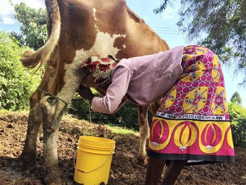 Dairy farming taking off in Kenya