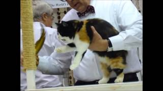 CFA Cat Show - Cotton States 75th Anniversary, 2013  MANX JUDGING
