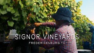 Signor Vineyards - Harvest 2019, Fredericksburg, TX