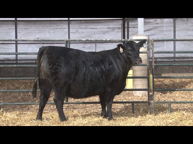 Schiefelbein Angus Farms Lot 402