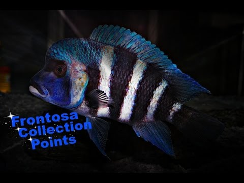 How To Identify Cyphotilapia Frontosa  - African Cichlids - Lake Tanganyika