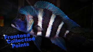 Repeat youtube video How To Identify Cyphotilapia Frontosa  - African Cichlids - Lake Tanganyika