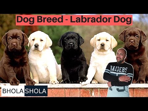 Dog breed - Know About Labrador Dog - Bhola shola - YouTube