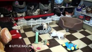 Little Rascals Uk Breeders New Litter Of Cavalier Puppies - Puppies For Sale UK