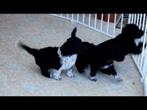 Portuguese Water Dog Puppies for Sale