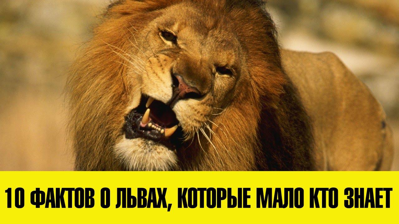 фото чёрных львов