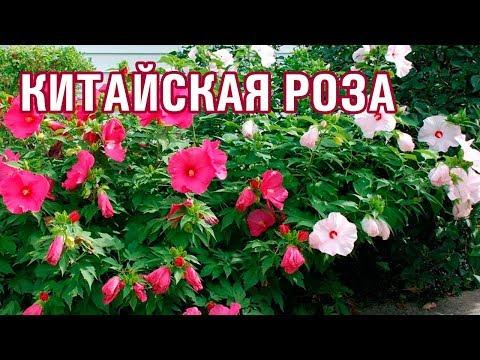 КИТАЙСКАЯ РОЗА - ГИБИСКУС (25-08-2018)