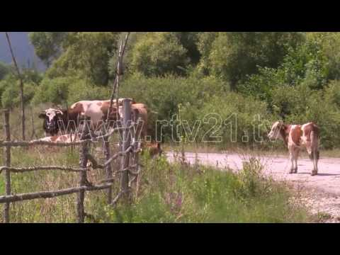 Vetëm në Marec të Pririshtinës 11 lopë të ngordhura - 28.07.2016