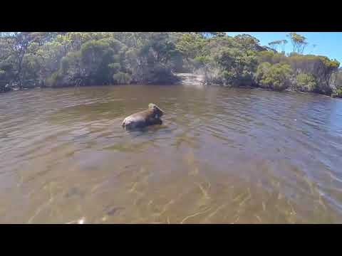 Koala Swims Across River - 986138