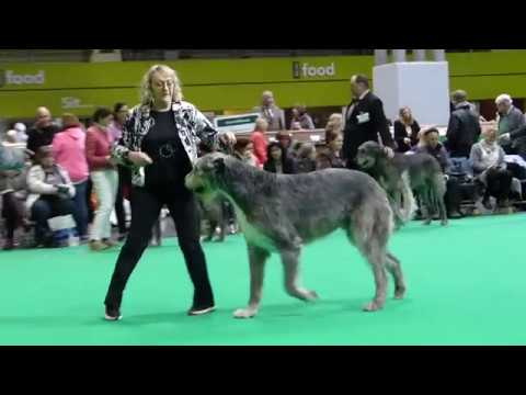 Hydebeck Imperial Ruler Crufts 2018 Dogs Open Class Irish Wolfhound