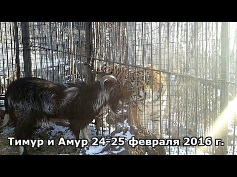 Тимур и Амур 24-25 февраля 2016 г.