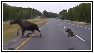 Close Call For Moose Crossing Road In Alaska | Dash Cam | United States | 20190727