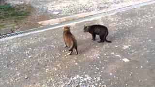 飼い猫の彼氏達が喧嘩をしてたので撮りました‼  (≧∇≦)
