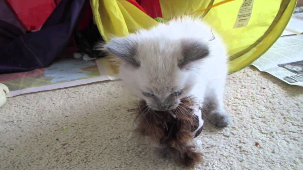 Baby blue point Balinese and tuxedo kittens! - YouTube