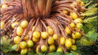 Thanh Hóa: Tận mắt ngắm cây vạn tuế hiếm có khó tìm 'đẻ' 400 'trứng vàng', người dân đổ xô đến xem