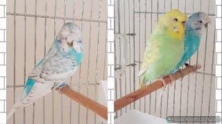 Tepeli Jumbo ve Japones Muhabbet Kuşları Aldık, Yeni Havalandırma Sistemimiz