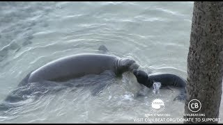 Hawaiian Monk Seal Pup Cam Kaimana Beach