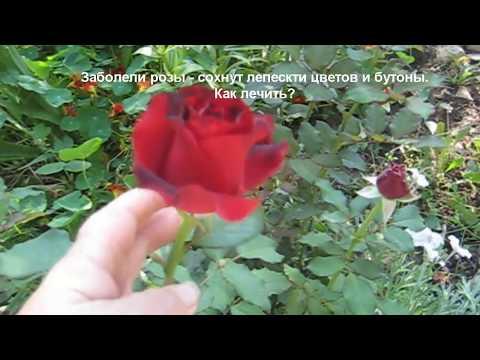 Сохнут лепестки  цветов и бутоны у роз? Как лечить?