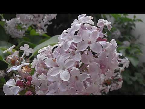 Flores del lilo: Syringa vulgaris (www.riomoros.com)
