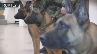 جلب 3 كلاب بوليسية مستنسخة من سلالة بلجيكية إلى روسيا