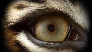 Eye Of The Tiger(tradução)