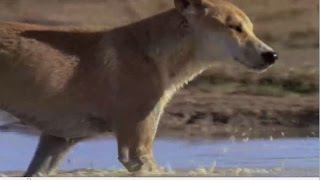 The last of the pure Dingoes | What are dingos?