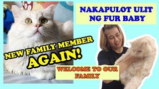 PERSIAN CAT BIG BONE II NAKAPULOT ULIT NG FUR BABY II NEW FAMILY MEMBER II CATROPA